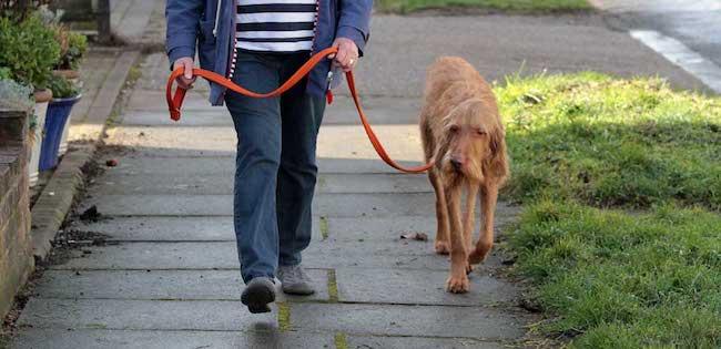 Leash training an older dog