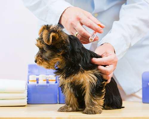 Dog flea bite soothing